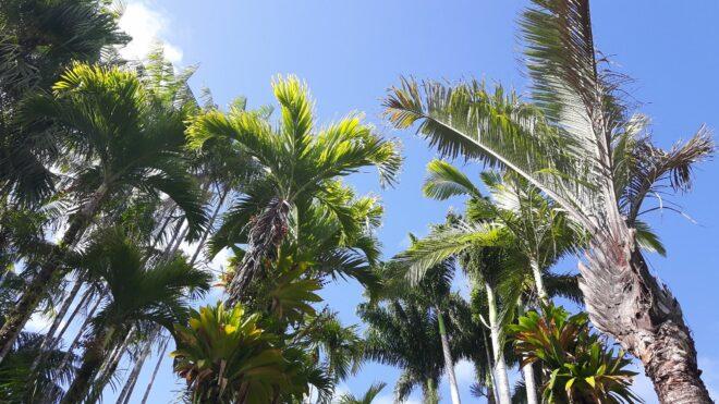 Palmenpracht im Jardin de Balata